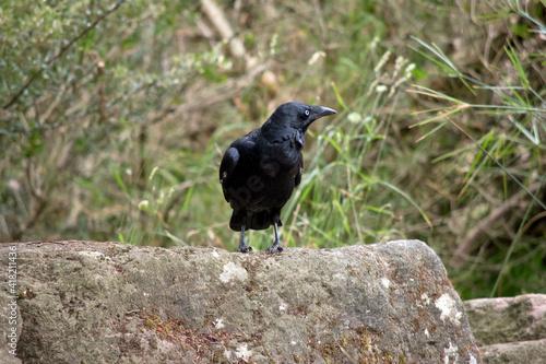 Fototapeta premium the Australian raven is a black bird