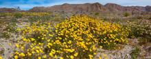 Super Bloom Wildflowers, Joshua Tree National Park, California