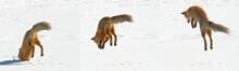 USA, Colorado, Frisco, Giberson Bay. Sequence Of A Red Fox Pouncing On Snow For Prey Below.
