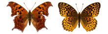 Polygonia Comma Isolated. Speyeria Atlantis Isolated. Speyeria Cybele. Mix Set Of Beautiful Butterflies On A White Background. Set Of Butterflies. Butterfly Isolated On White Background.butterflies