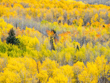 USA, Colorado, San Juan Mts. Yellow And Orange Fall Aspens, Gunnison National Forest, Colorado