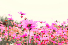 Beautiful Pink Cosmos Flowers On White Background.