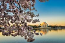 Thomas Jefferson Memorial And Cherry Blossoms