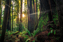 Giants Of The Redwoods, Redwoods National And State Parks, California
