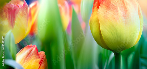 Bright tulip flowers on the Tulip festival for your abstract background in spring. © Repina Valeriya