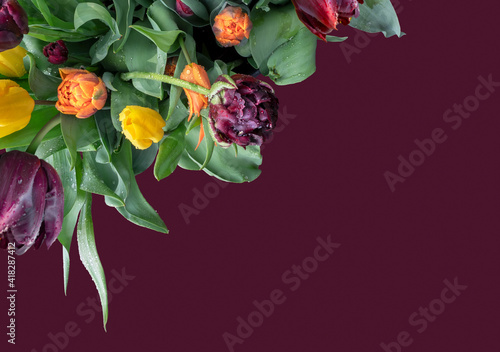 Bouquet of Holland tulips on a dark red background with water drops and copy space, top view. © Repina Valeriya