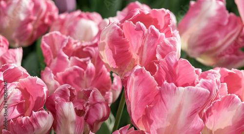 Petals of pink tulip flowers in the garden in selective focus, close-up. © Repina Valeriya