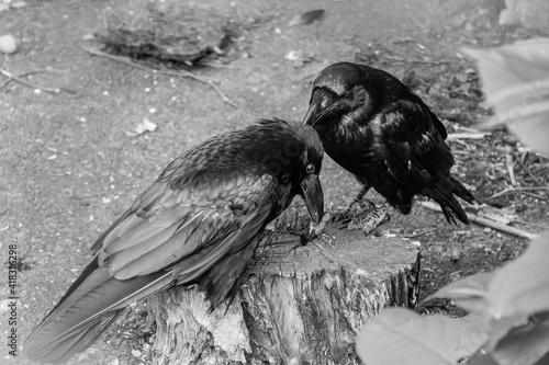 Fototapeta premium Beautiful black crows sit on a stump