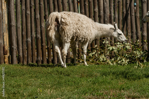 Fototapeta premium White lama eats
