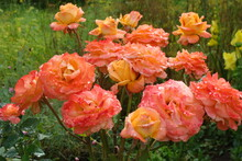 Orange Roses After The Rain