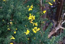 Gorse Bush In Flower