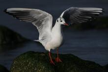 Black-headed Gull Standing On The Rocks On The Coast Of Katwijk Aan Zee.