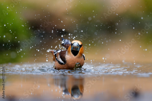 Fototapeta Hawfinch (Coccothraustes coccothraustes) taking a bath in the forest of Overijssel in the Netherlands