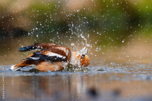 Obraz na plátne Hawfinch (Coccothraustes coccothraustes) taking a bath in the forest of Overijssel in the Netherlands