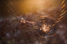 A Large Brown Weaver Spider In Its Web Hunts Its Prey.