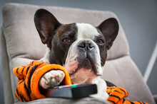 French Bulldog In Orange Tiger Bathrobe Watch Tv On The Arm Chair With Remote Control