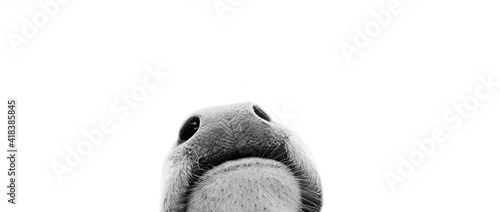 Foto Close up of nosey baby cow nose peeking from isolated white background, curious calf