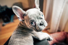 French Bulldog Puppy Looking Back From Owner's Lap, Personal Perspective Portrait