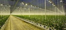 Growing Bell Peppers In Modern Dutch Greenhouse, Zevenbergen, Noord-Brabant, Netherlands