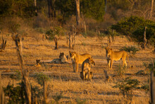 Pride Of Lions (Panthera Leo) In Mana Pools National Park, Zimbabwe