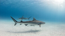 Underwater View Of Great Hammerhead Shark And Tiger Shark Swimming Near Seabed, Alice Town, Bimini, Bahamas