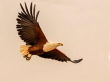 African Fish Eagle Flying Against Grey Sky, Side View, Kruger National Park, South Africa