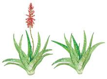 Realistic Botanic Watercolor Hand Drawn Illustration Of Aloe Vera (Aloe Vera) Plant With Flower Isolated On White.