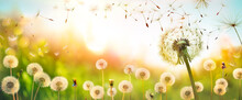 Dandelions With Flying Seeds In Defocused Field  - Freedom And Allergy Concept