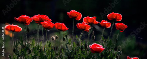 Fototapety, obrazy: Poppy lawn panorama.Beautiful poppies on the lawn.Unique odorless flower.Tenderness and fragility of poppy originality.