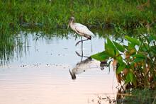 USA, Florida, Sarasota, Celery Fields, Wood Stork