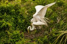 USA, Florida, Anastasia Island, Alligator Farm. Great Egret Pair Mating At Nest.