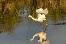 USA, Florida, Merritt Island National Wildlife Refuge. Snowy Egret Dragging It's Feed Fishing.