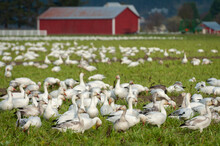 "Migrating Snow Geese In Their Winter Home In The Skagit Valley, Washington. Snow Geese Feed On Winter ""green"" Crops On Farmed Lands In And Around The Skagit And Stillaguamish River Deltas."