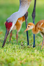 Mother Sandhill Crane Shows Her Colt, Or Chick, How To Hunt For Food.