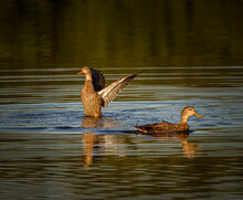 Pair Of Female Mallard Ducks Swimming In Pond