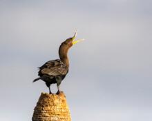 A Cormorant Perched Squawking