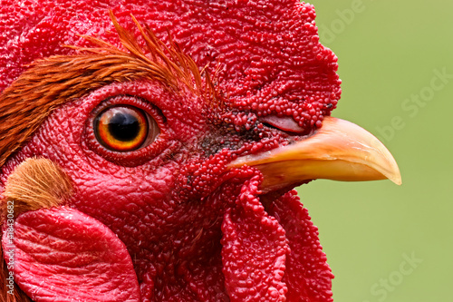 Feral chickens, Kauai, Hawaii. Fototapeta