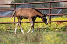Baby Foal In Field