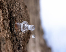 Close Up Of A Maple Sugaring Tap