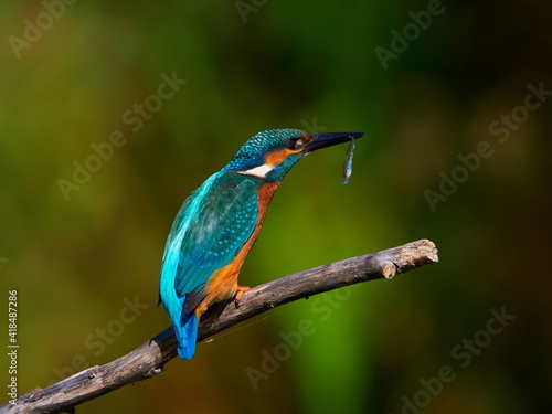 The common kingfisher (Alcedo atthis) also known as the Eurasian kingfisher in n Fototapete