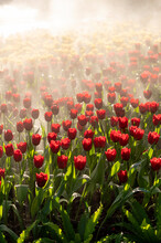 Beautiful Colorful Tulips Blooming With Morning Warn Light
