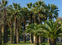 Exotic Landscape With Palm Trees In City Park Of Sochi Center. Washingtonia Filifera Palm Trees And Canary Island Date Palm (Phoenix Canariensis). Sochi, Russia - December 07, 2020