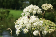 Buff Tailed Bumble Bee Searching For Honey On Cow Parsley On A Clear Summer Day In The Garden