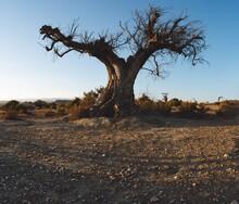 Old Dead Olive Tree In The Desert. Hangman's Tree