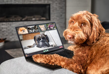Dog Talking To Dog Friends In Video Conference. Group Of Dogs Having An Online Meeting In Video Call Using A Laptop. Labradoodle, Boxer, Poodle And Pomeranian Chatting Online. Pets Using A Computer.