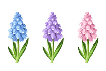 Set Of Blue, Purple And Pink Grape Hyacinth Flowers Isolated On A White Background. Vector Illustration.