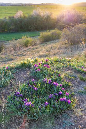 Obraz Dwarf iris in Pusty kopec u Konic near Znojmo, Southern Moravia, Czech Republic - fototapety do salonu