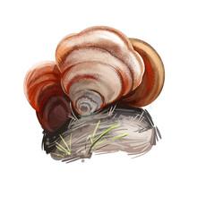 Stereum Ostrea, False Turkey Tail Or Golden Curtain Crust Mushroom Closeup Digital Art Illustration. Boletus Has Rusty Colored Body And Grows On Trees. Mushrooming Season, Plants Growing In Forest
