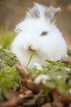 Cute Bunny With Fluffy White Fur Sit On Green Field And Eats Blade Of Grass Hanging Out Of His Mouth