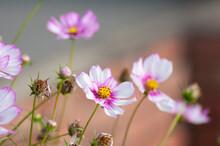 Pink Garden Cosmos Flower In The Garden Of The Nature.